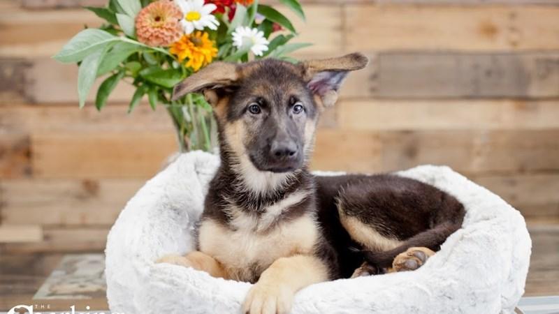 Grand Rapids German Shepherd Dog Puppies