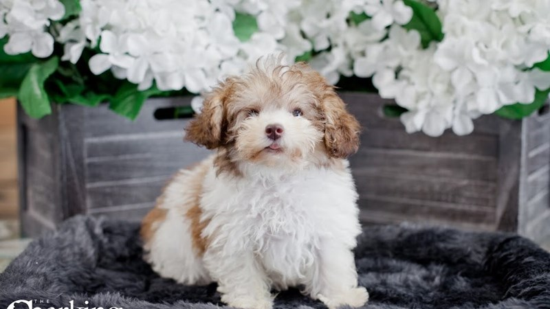 Grand Rapids Schnoodle Puppies