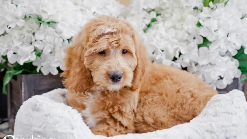 Grand Rapids F1b Goldendoodle Puppies