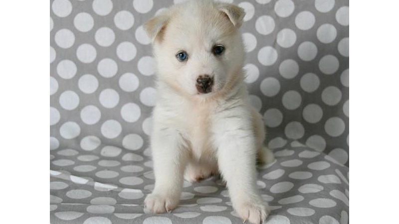 Grand Rapids American Eskimo Dog/siberian Husky Puppies