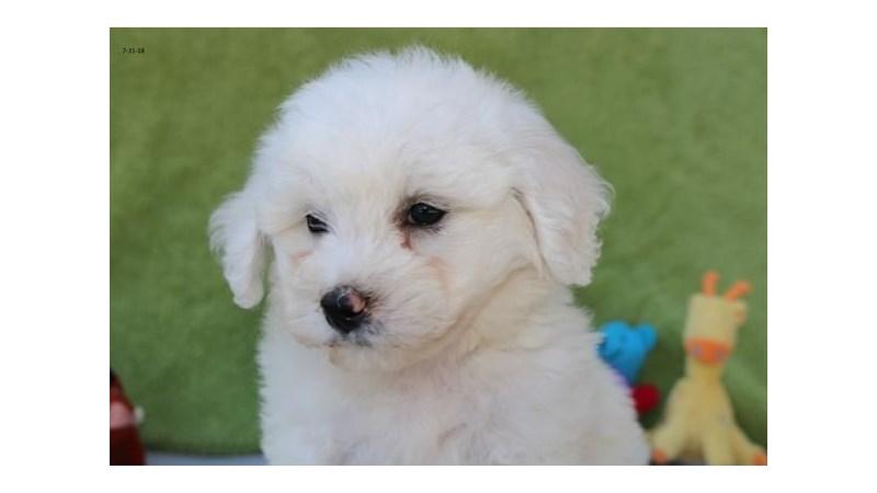 Grand Rapids Bichon Frise Puppies