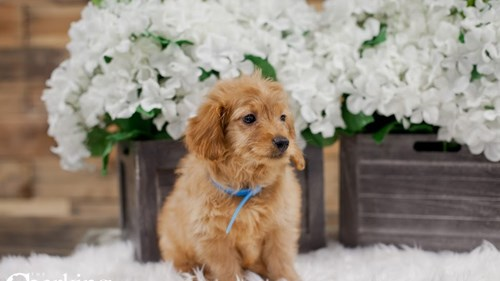 Grand Rapids F2b Mini Golden Doodle Dog Adoption Grand Rapids, MI