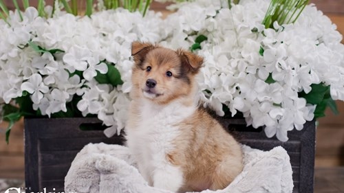Grand Rapids Shetland Sheepdog Dog Adoption Grand Rapids, MI
