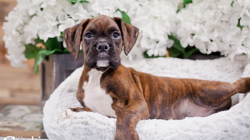 Grand Rapids Boxer Puppies for sale