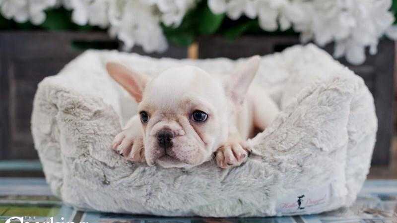Grand Rapids French Bulldog Puppies