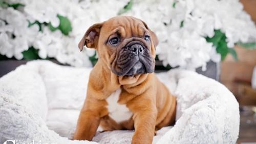 Grand Rapids Bulldog Dog Adoption Grand Rapids, MI