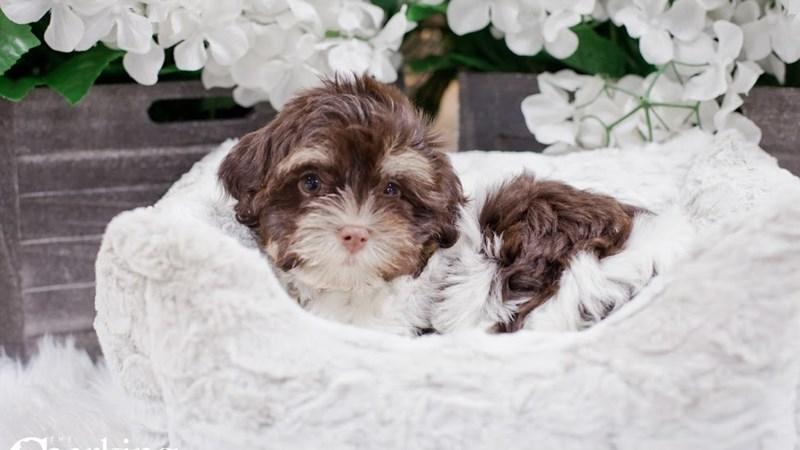 Grand Rapids Havanese Puppies