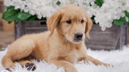 Grand Rapids Golden Retriever Dog Adoption Grand Rapids, MI