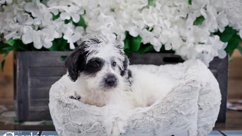 Grand Rapids Poodle/miniature Schnauzer Dog Adoption Grand Rapids, MI
