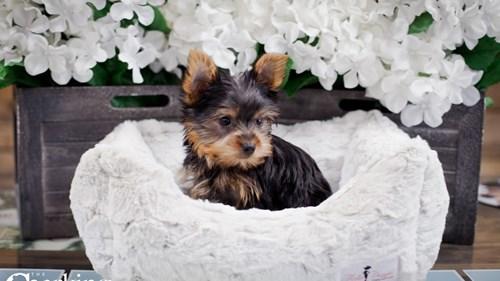 Grand Rapids Yorkshire Terrier Dog Adoption Grand Rapids, MI