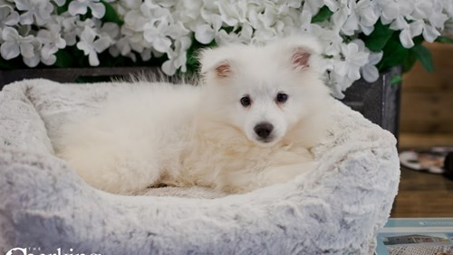 Grand Rapids American Eskimo Dog Puppies for sale
