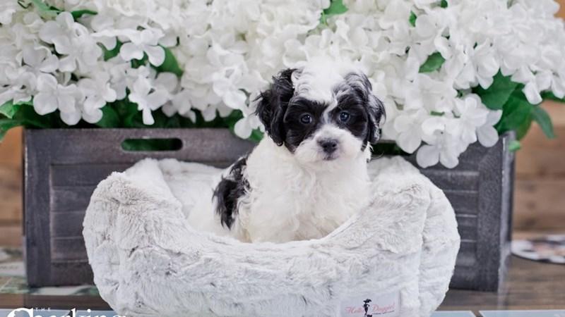 Grand Rapids Havanese/bichon Puppies