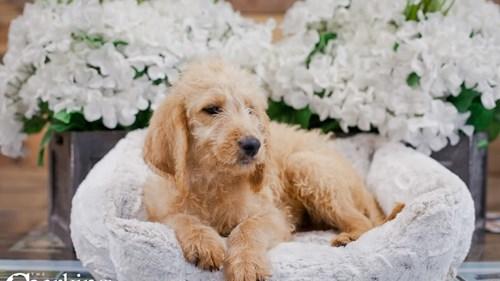 Grand Rapids Labradoodle Dog Adoption Grand Rapids, MI