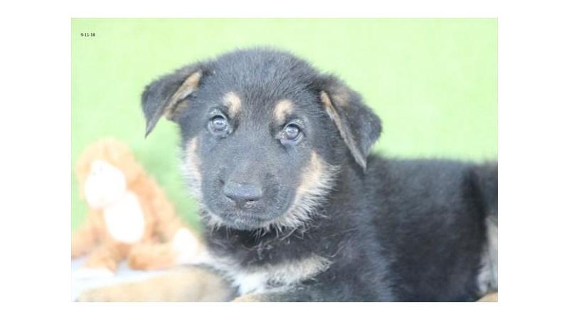 Grand Rapids German Shepherd Puppies
