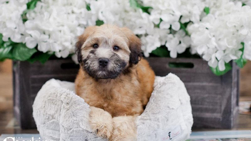 Grand Rapids Soft Coated Wheaten Terrier Puppies