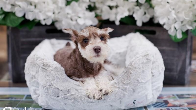 Grand Rapids Miniature Schnauzer Puppies