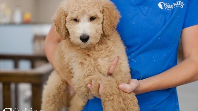 Grand Rapids Goldendoodle 2nd Gen Puppies