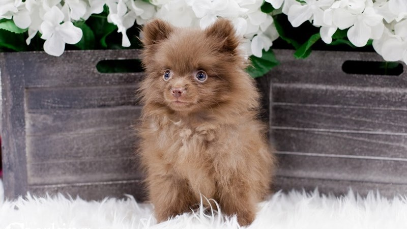 Grand Rapids Pomeranian Puppies