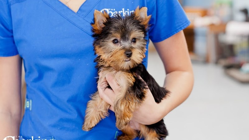 Grand Rapids Yorkshire Terrier Puppies
