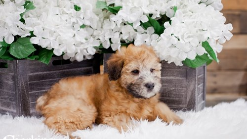Grand Rapids Soft Coated Wheaten Terrier Puppies for sale