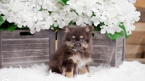 Grand Rapids Pomeranian Puppies for sale