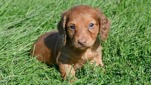 Grand Rapids Dachshund Dog Adoption Grand Rapids, MI