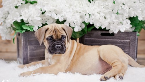 Grand Rapids Bullmastiff Dog Adoption Grand Rapids, MI