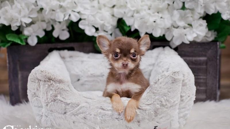 Grand Rapids Chihuahua Puppies