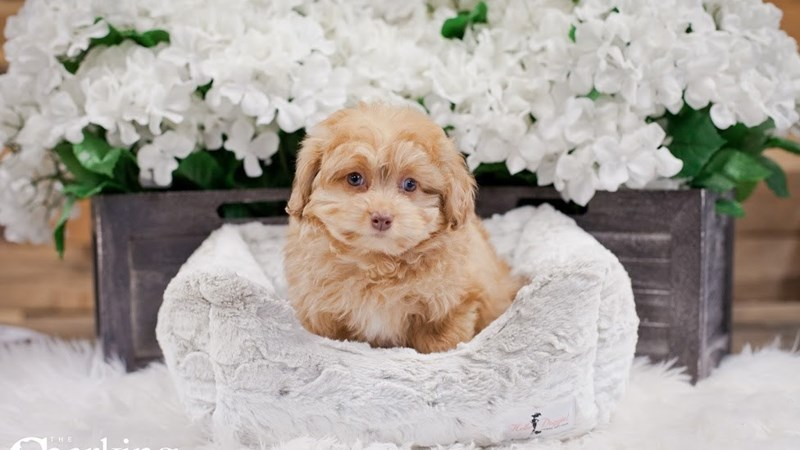 Grand Rapids Mini Aussie Poo Puppies