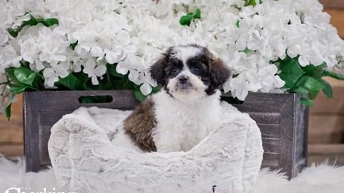 Grand Rapids Poodle/bichon Frise Dog Adoption Grand Rapids, MI