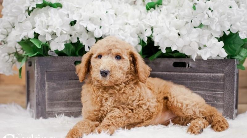 Grand Rapids Standard Poodle Puppies