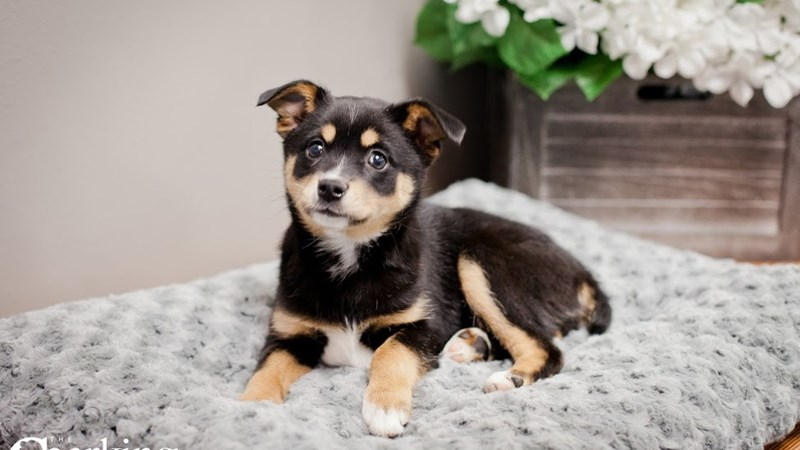 Grand Rapids Alaskan Klee Kai/australian Shepherd Puppies