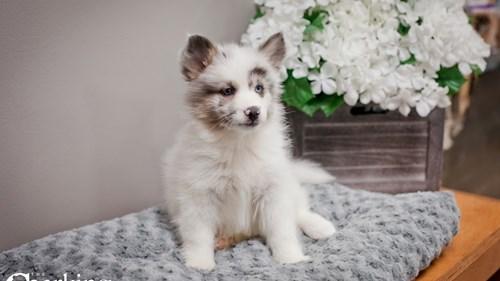 Grand Rapids Pomsky 2nd Gen Dog Adoption Grand Rapids, MI