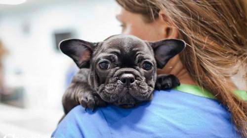 Grand Rapids French Bulldog Dog Adoption Grand Rapids, MI