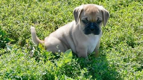 Grand Rapids Puggle Dog Adoption Grand Rapids, MI