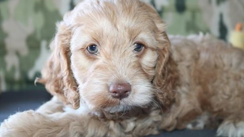 Grand Rapids Cock A Poo Dog Adoption Grand Rapids, MI