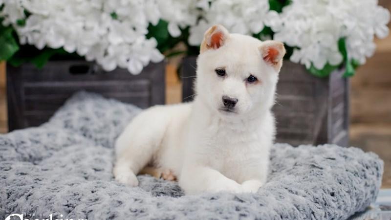 Grand Rapids Shiba Inu Puppies