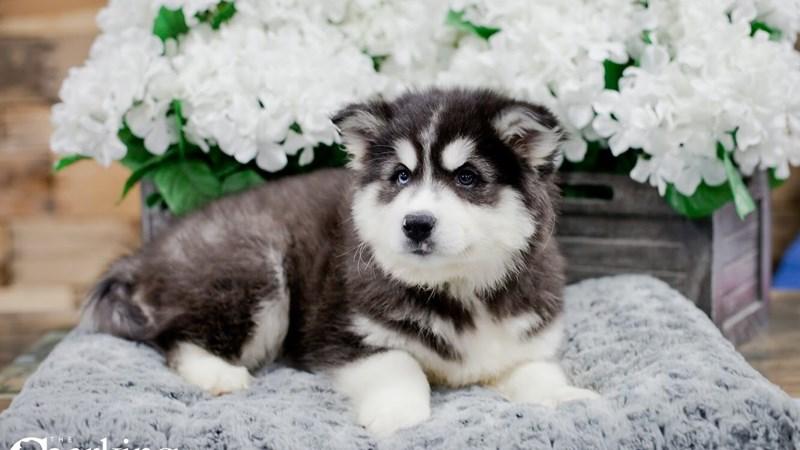 Grand Rapids Huskimo Puppies