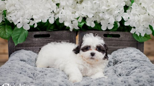 Grand Rapids Bichon/shih Tzu Puppies for sale
