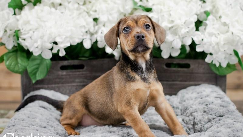 Grand Rapids French Bulldog/beagle Puppies