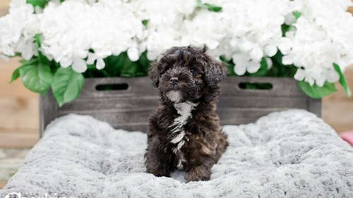 Grand Rapids Toy Poodle Puppies for sale