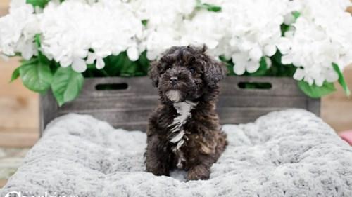 Grand Rapids Toy Poodle Dog Adoption Grand Rapids, MI