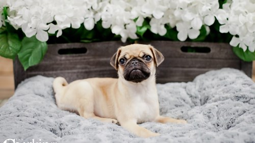 Grand Rapids Pug Puppies for sale