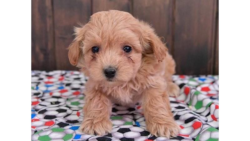 Grand Rapids Maltese/poodle Puppies