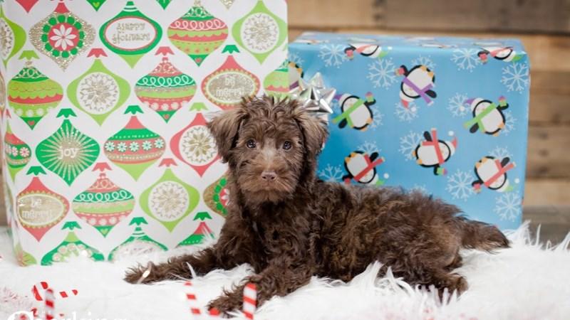 Grand Rapids Poodle/miniature Schnauzer Puppies