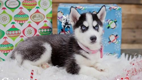 Grand Rapids Siberian Husky Dog Adoption Grand Rapids, MI
