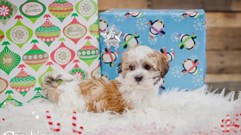 Grand Rapids Havanese/maltese Puppies