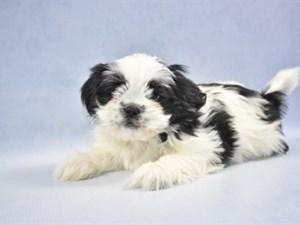 Puppies For Sale At Petland Hoffman Estates Illinois