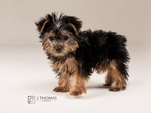 Dogs Puppies For Sale Visit Petland Topeka Kansas Today