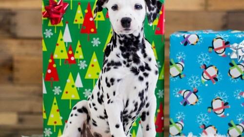 Grand Rapids Dalmatian Puppies for sale